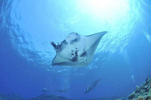 Avec le niveau 2, vous devenez plus autonome. Il vous donne les connaissances pratiques et théoriques et la maîtrise des gestes de sécurité nécessaires pour gérer vous-même, dans certaines conditions, vos plongées jusqu'à 20 mètres de profondeur en compagnie de plongeurs et de plongeuses du même niveau. De 20 à 40 mètres de profondeur, vous plongez sous la conduite d'un moniteur.